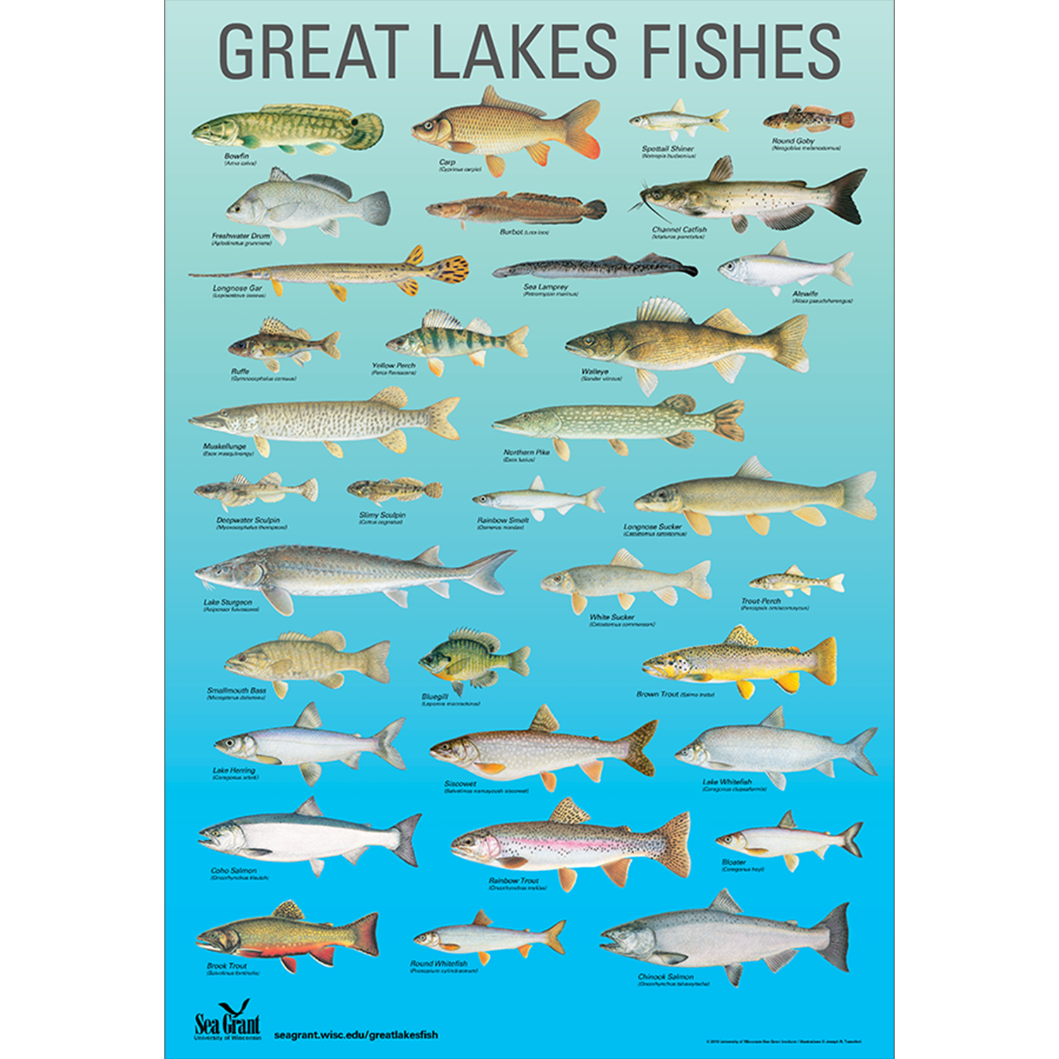 Great lakes fishes poster 2014 publications for Lake erie fish species